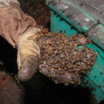 En este año y el siguiente esperan recolectar unos 2,400 kilogramos de miel de abeja.