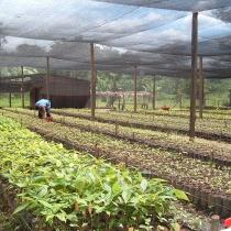 Vivero de plantas para reforestación en El Castillo (proyecto Araucaria)