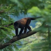 Mono congo (Refugio de Vida Silvestre de El CHocoyero)