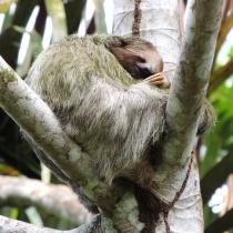 Oso perezoso (Refugio de Vida Silvestre Los Guatuzos)