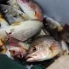 Crianza de Pargo en esteros mejorará la vida de pescadores artesanales de El Viejo y León.