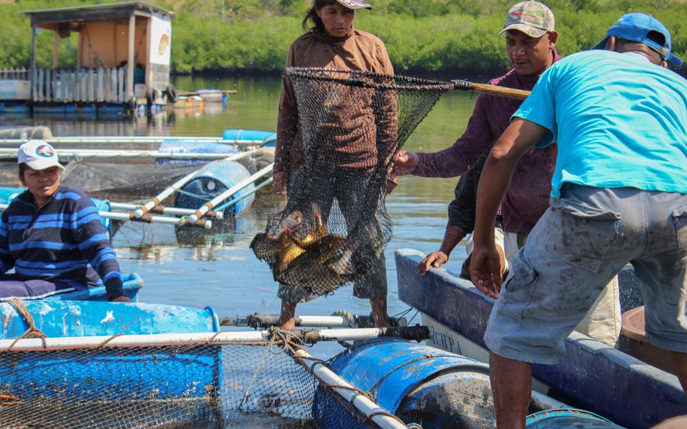 Pie de foto: Mujeres de Padre Ramos refuerzan su empoderamiento económico gracias a la cría en cautividad del pargo rojo