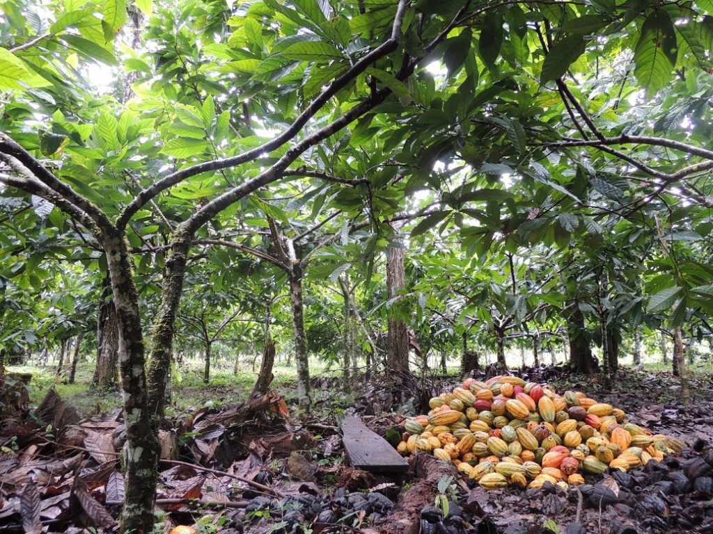 Pie de foto: La AECID impulsó la renovación del cultivo del cacao en Río San Juan. La alta calidad de este cacao es hoy ya reconocida por los mercados internacionales.